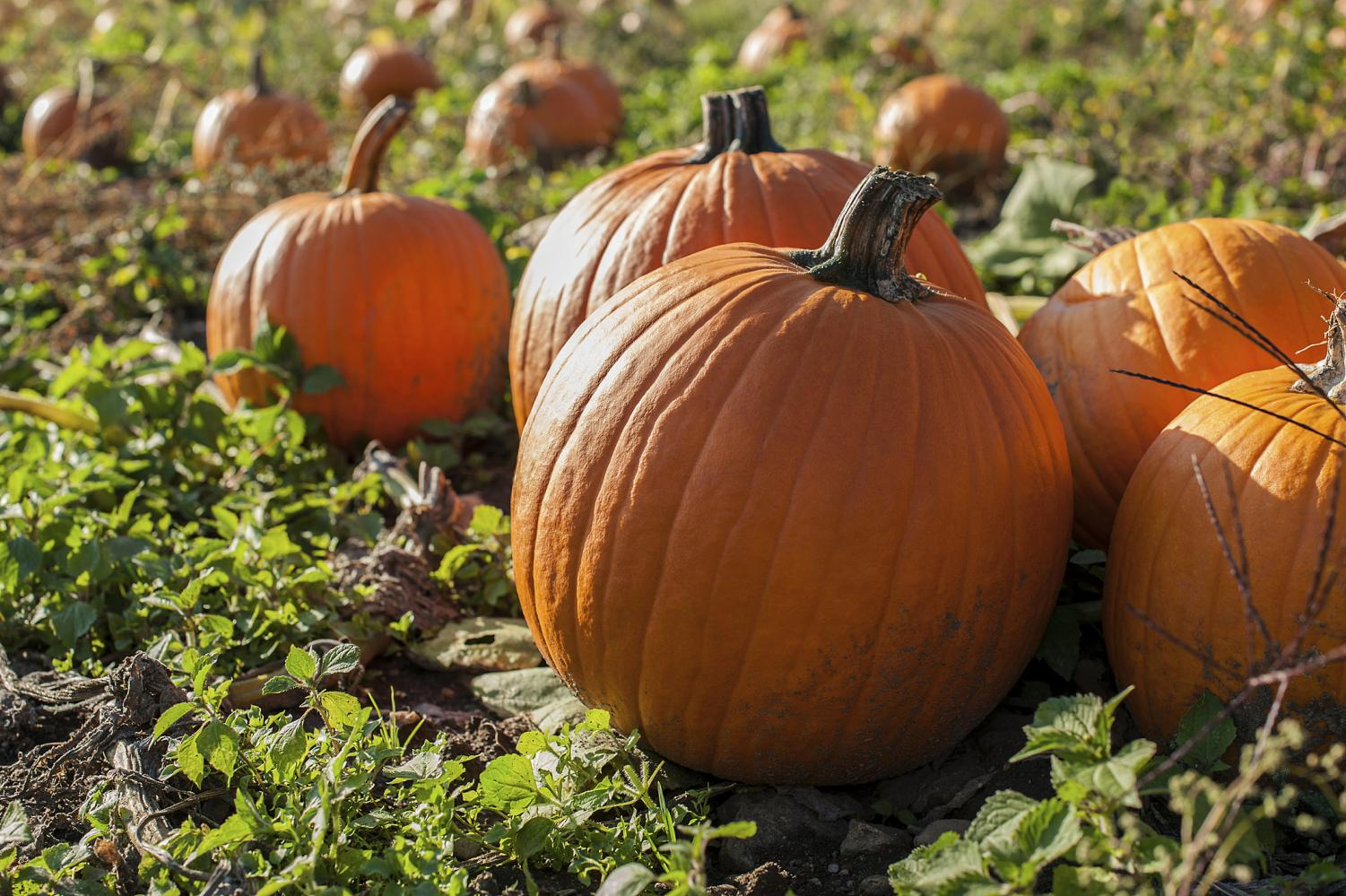 PSLs are now made from real pumpkin!