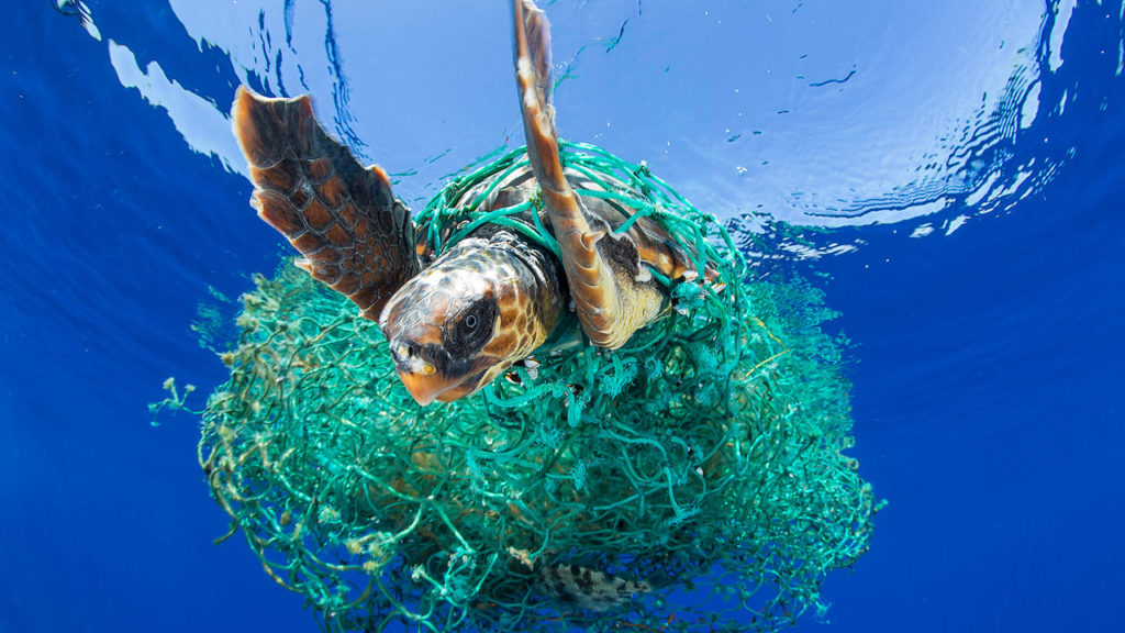 A sea turtle tangled in a ghost net trying to swim.
