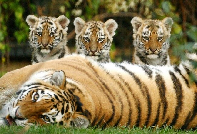 Tiger and three small cubs fiercely looking at the camera.