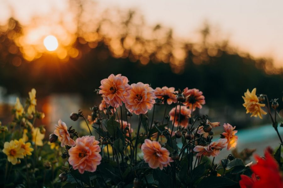 Picture of flowers  at sunset