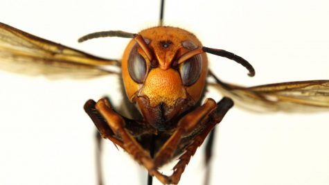 'Murder Hornets' are Identified in Washington State